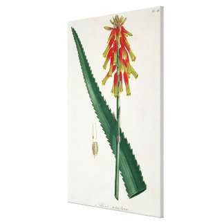 Aloe from 'Phytographie Medicale' by Joseph Roques Canvas Print