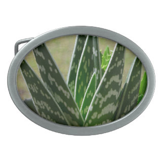 "Aloe ""Gator"" Variegata Succulent Oval Belt Buckle"