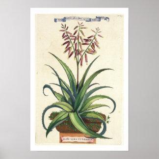 "Áloe Vera vulgaris, de ""Phytographia Curiosa"", p Posters"
