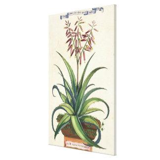 Aloe Vera Vulgaris, from 'Phytographia Curiosa', p Stretched Canvas Print