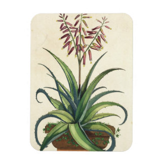 Aloe Vera Vulgaris, from 'Phytographia Curiosa', p Magnet