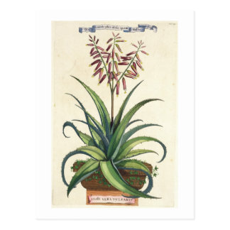 Aloe Vera Vulgaris, from 'Phytographia Curiosa', p Postcard