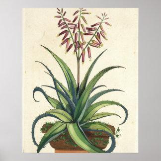 Aloe Vera Vulgaris, from 'Phytographia Curiosa', p Poster