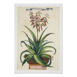 Aloe Vera Vulgaris, from 'Phytographia Curiosa', p Print