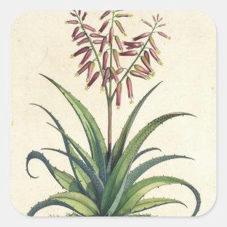 Aloe Vera Vulgaris, from 'Phytographia Curiosa', p Square Sticker