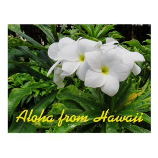 Aloha Hawaii White Plumeria Tropical Flower Post Card