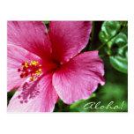 Aloha! Pink Hibiscus Postcards