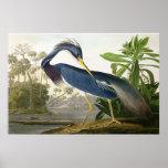 Alondra de la orilla - pintor Juan Audubon de la f Posters
