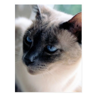 Aloof Siamese Cat Postcard