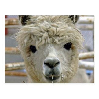 Alpaca adorable tarjeta postal