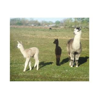 Alpaca and Two Cria Canvas Print