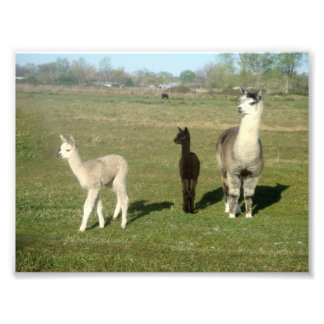 Alpaca and Two Cria Photo Print