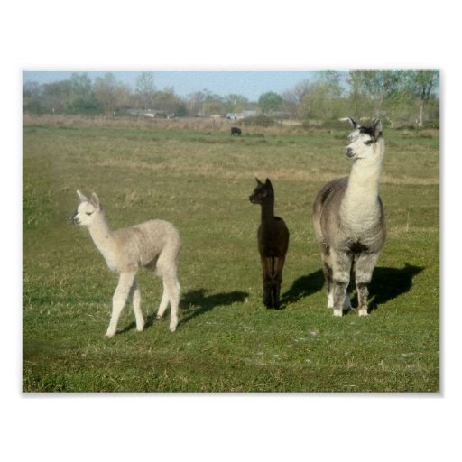 Alpaca and Two Cria Poster
