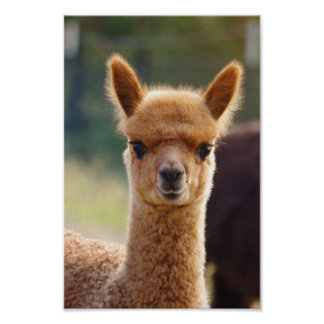 Alpaca Baby Poster