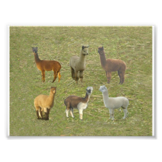 Alpaca collage photo print