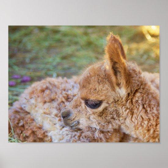 Alpaca Cria Poster