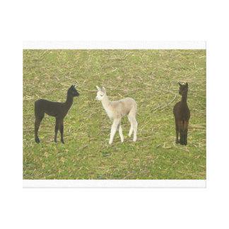 Alpaca Cria Trio Canvas Print
