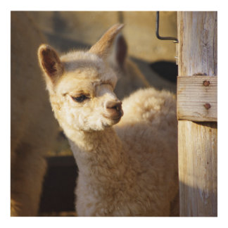 Alpaca Cria Wood Panel Wall Art