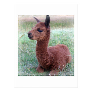 Alpaca de Hannah del bebé Tarjetas Postales