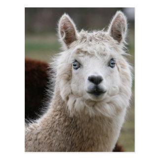Alpaca de ojos azules postal