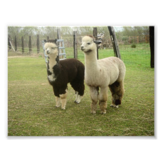 Alpaca Duo Photo Print