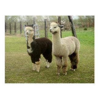 Alpaca Duo Postcards