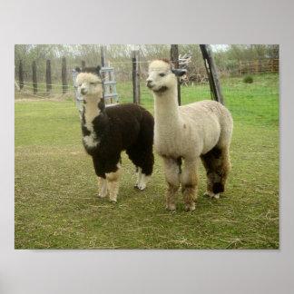 Alpaca Duo Poster