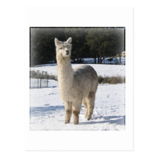 Alpaca In the Snow Postcard