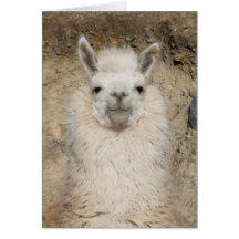 Alpaca Llama Close up - Head Profile