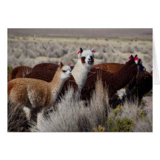 Alpaca Llama Herd Pack in Bolivia Andes Mountains Card