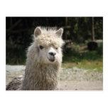 Alpaca, Parque Llaviucu, Ecuador Postales