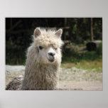 Alpaca, Parque Llaviucu, Ecuador Print