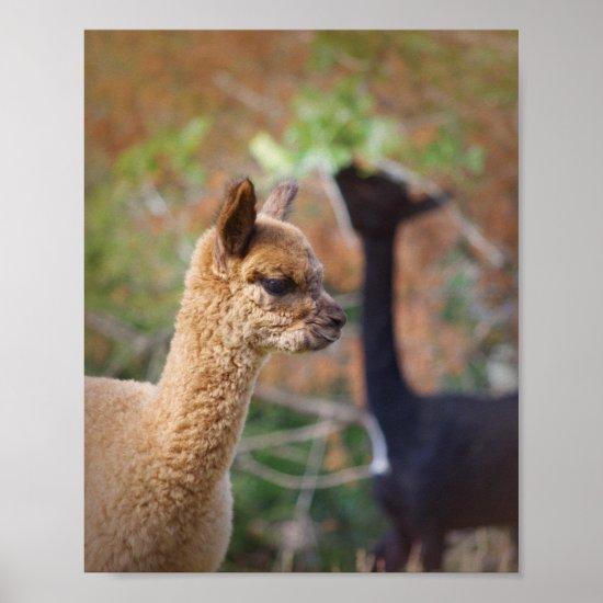 Alpaca Photo Poster