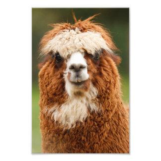 Alpaca Photo Print