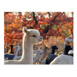 Alpaca Postcard Elisabetta