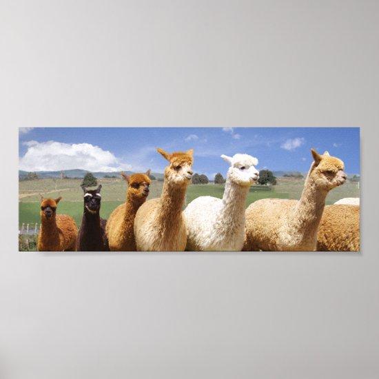 Alpaca Poster Line Up