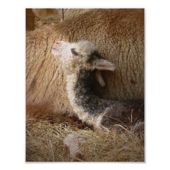 Alpaca Poster Newborn