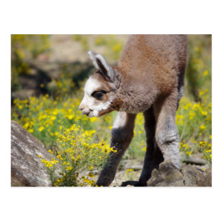 Alpaca Rossi Postcard