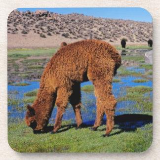 Alpaca (Vicugna Pacos) Grazing In Their Chilean Beverage Coaster