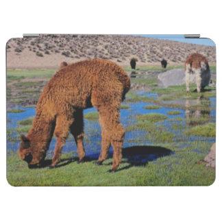 Alpaca (Vicugna Pacos) Grazing In Their Chilean iPad Air Cover
