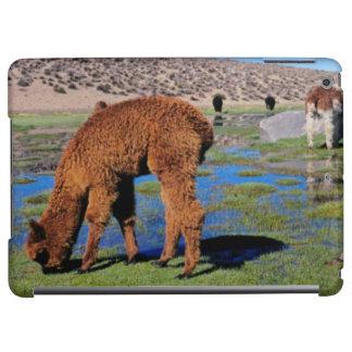 Alpaca (Vicugna Pacos) Grazing In Their Chilean iPad Air Covers