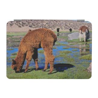 Alpaca (Vicugna Pacos) Grazing In Their Chilean iPad Mini Cover