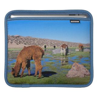 Alpaca (Vicugna Pacos) Grazing In Their Chilean iPad Sleeve