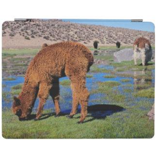 Alpaca (Vicugna Pacos) Grazing In Their Chilean iPad Smart Cover