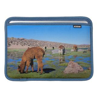 Alpaca (Vicugna Pacos) Grazing In Their Chilean MacBook Sleeves