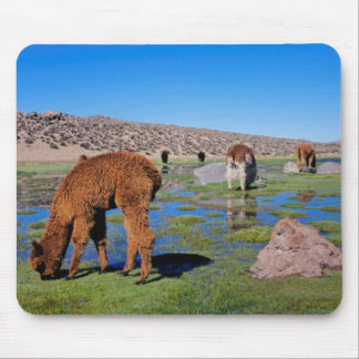 Alpaca (Vicugna Pacos) Grazing In Their Chilean Mouse Pad