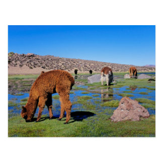 Alpaca (Vicugna Pacos) Grazing In Their Chilean Postcard