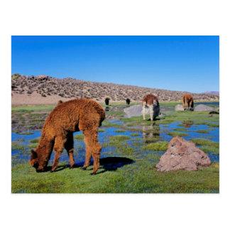 Alpaca (Vicugna Pacos) Grazing In Their Chilean Postcard
