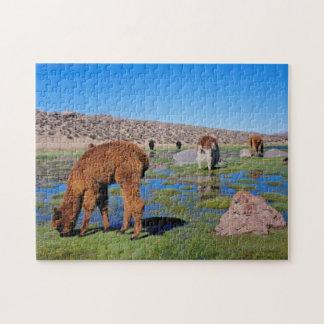Alpaca (Vicugna Pacos) Grazing In Their Chilean Jigsaw Puzzle