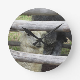 Alpaca ( Vicugna pacos ) looking out wooden fence Round Clock